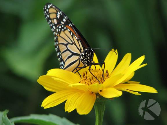 IMG_0493_Butterfly_KVerbeek_LR web