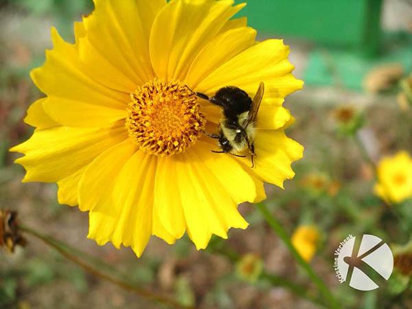 BeeYellowFlower2_KVerbeek_web